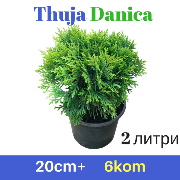 Thuja Danica 20+cm, 2L