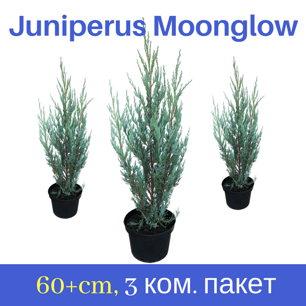 Juniperus Moonglow – 60cm