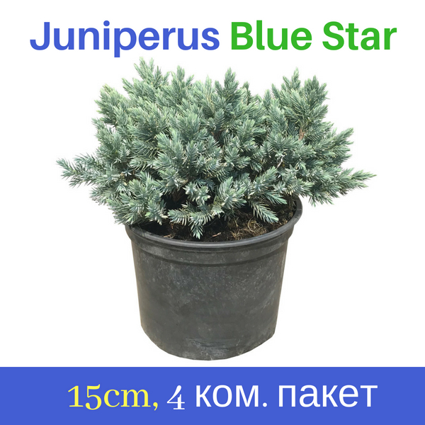 Juniperus Blue Star 15cm
