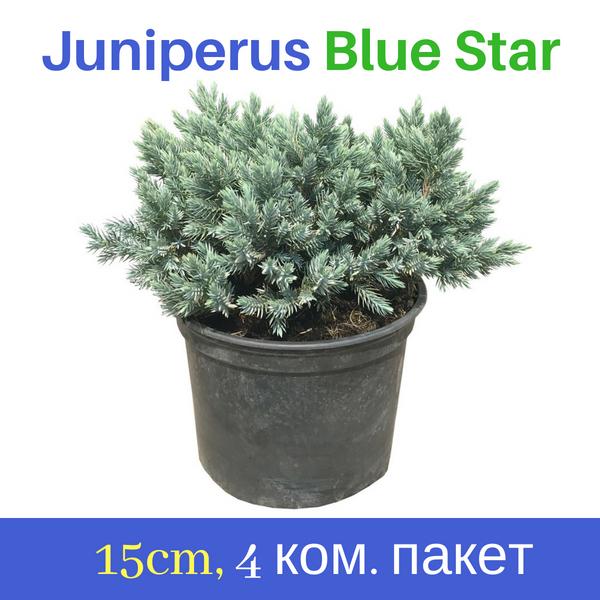 Juniperus Blue Star 15cm