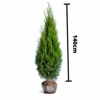 Thuja Smaragd 140cm