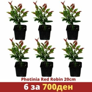 Photinia Red Robin set 6 za 700den