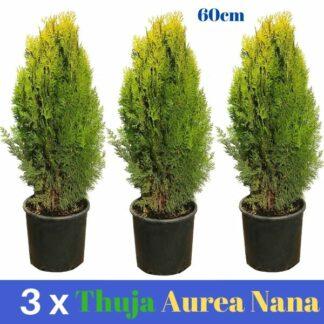 3 x Thuja Aurea Nana 5L