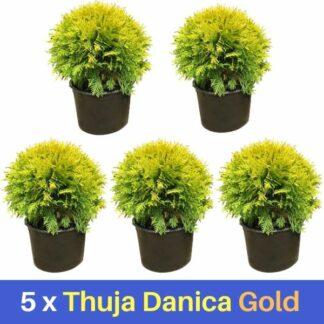 5 Thuja Danica Gold 20+cm