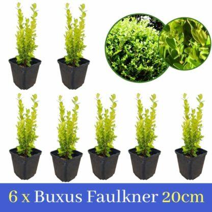 6 Buxus Faulkner 20cm