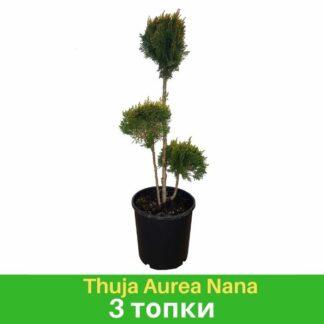 Thuja Aurea Nana 3 Топки