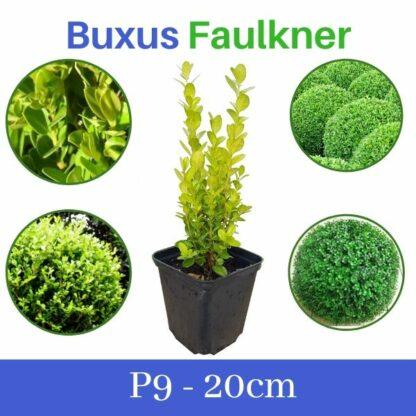 Buxus Faulkner p9 Шимшир