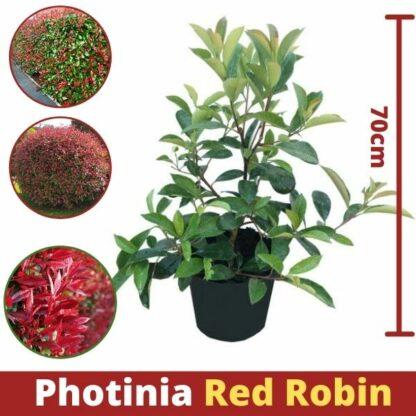 Fotinija Red Robin 3 za 999den