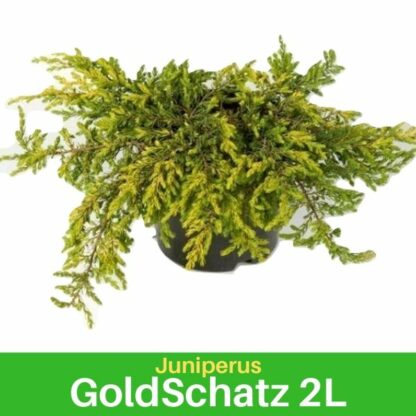 Juniperus Gold Shachtz 2L