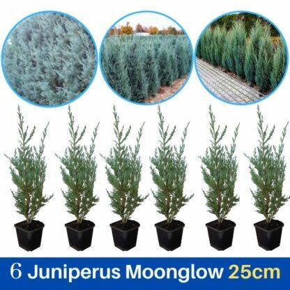 Juniperus Moonglow 25cm