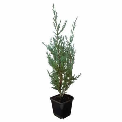 Juniperus Moonglow 25cm P9