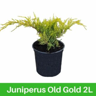 Juniperus Old Gold 2l