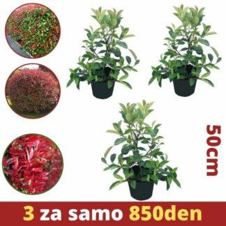 MK Photinia Red Robin 2L 50cm