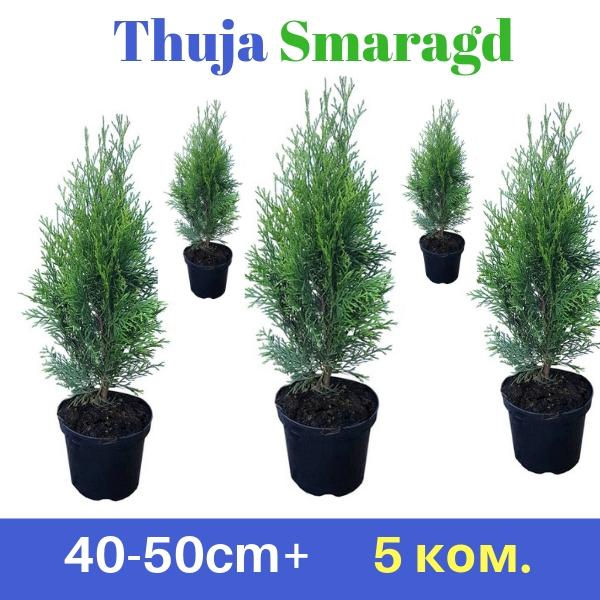 Thuja smaragd 40-50cm