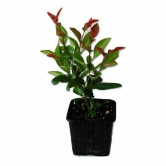 Photinia Red Robin p9