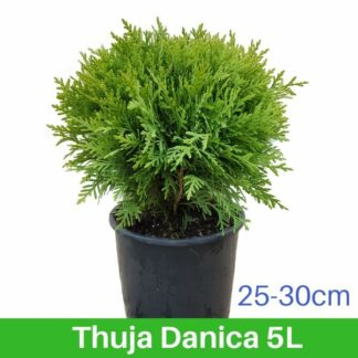 Thuja Danica 5L