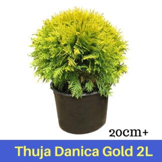 Thuja Danica Gold 2L