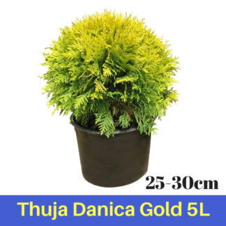 Thuja Danica Gold 5L