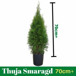 Thuja Smaragd 70cm+