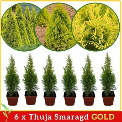Thuja Smaragd Gold 30cm
