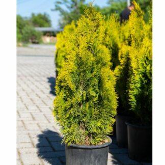 Thuja Smaragd Gold 60cm 5L