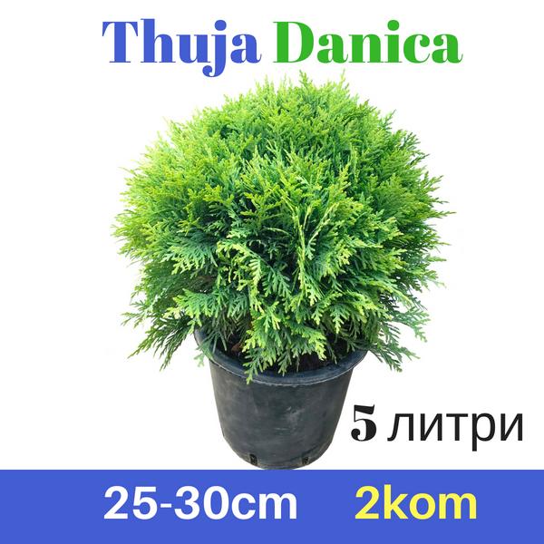Thuja Danica 25-30cm 5L (2 парчиња)