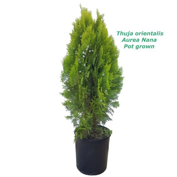 Thuja Orientalis Aurea Nana - 7L ,60cm саксиско производство