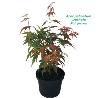 Acer palmatum Deshojo - 2L