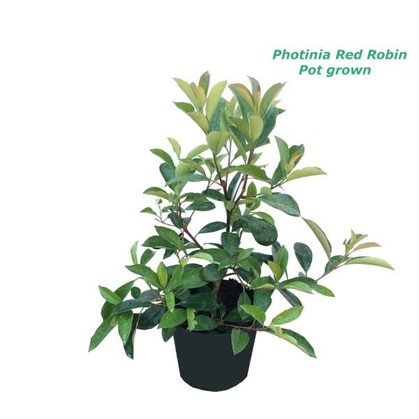 Photinia Red Robin - саксиско производство