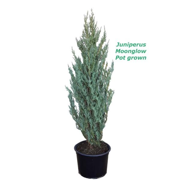 Juniperus Moonglow - 140cm,12L саксиско производство