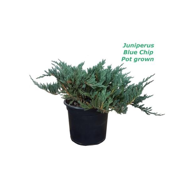Juniperus Blue Chip - 2L саксиско производство