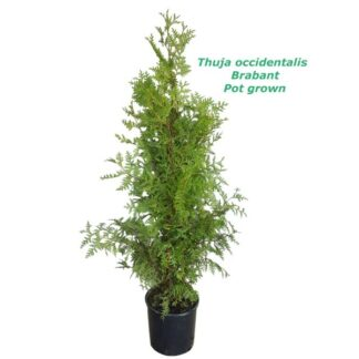 Thuja occidentalis Brabant 7L