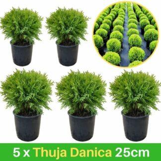 5 Thuja Danica 25cm