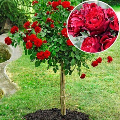 Рози во форма на топка