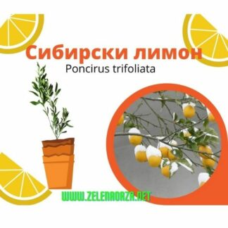 Sibirski Limon сибирски лимион скопје МК
