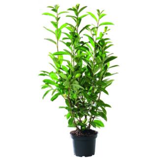 Prunus Laurocerasus - 3 за 1200ден.!