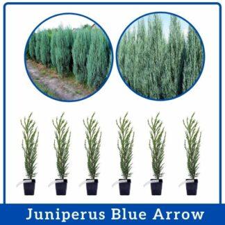 Juniperus Blue Arrow